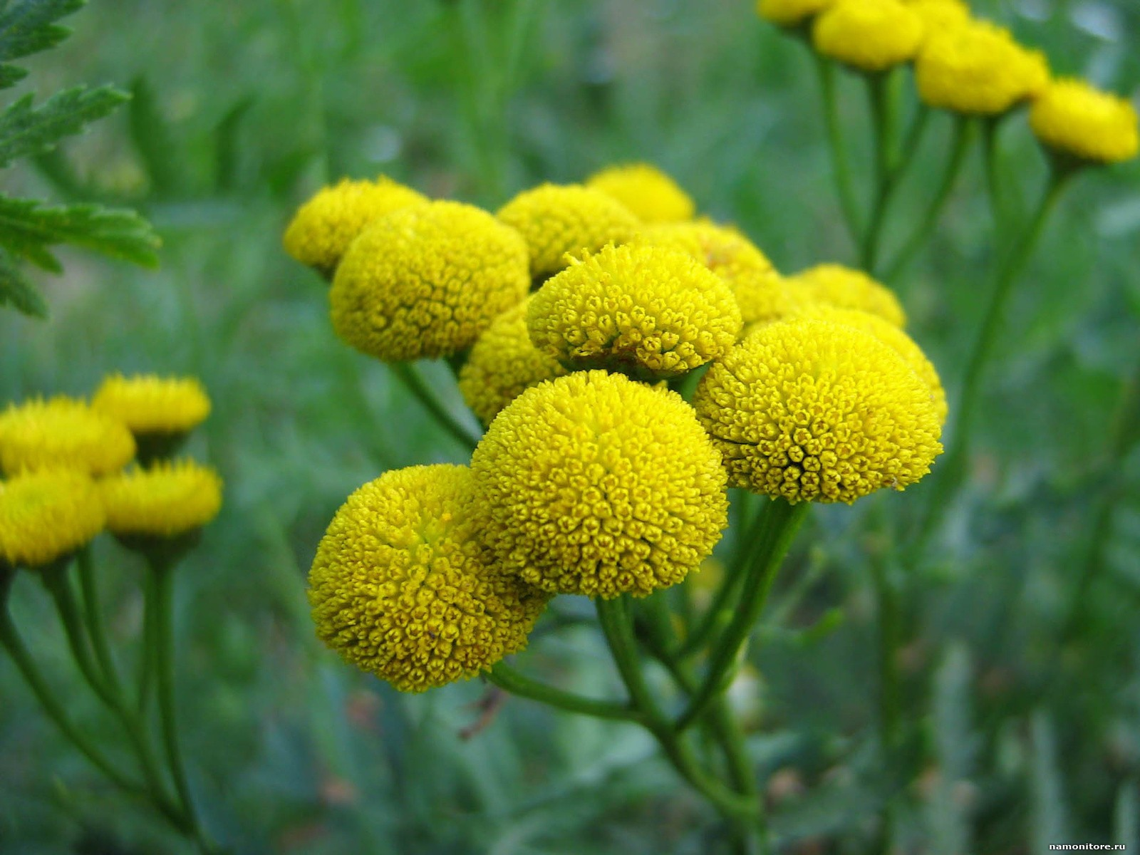 Лечебная трава с желтыми цветами фото названия