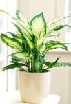 Ядовитые домашние растения