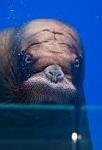 В океанариуме Приморья придумали развлечение для общительного моржа