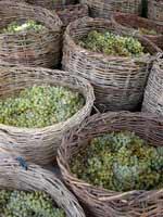 wine grapes sm - Народные традиции: Армения