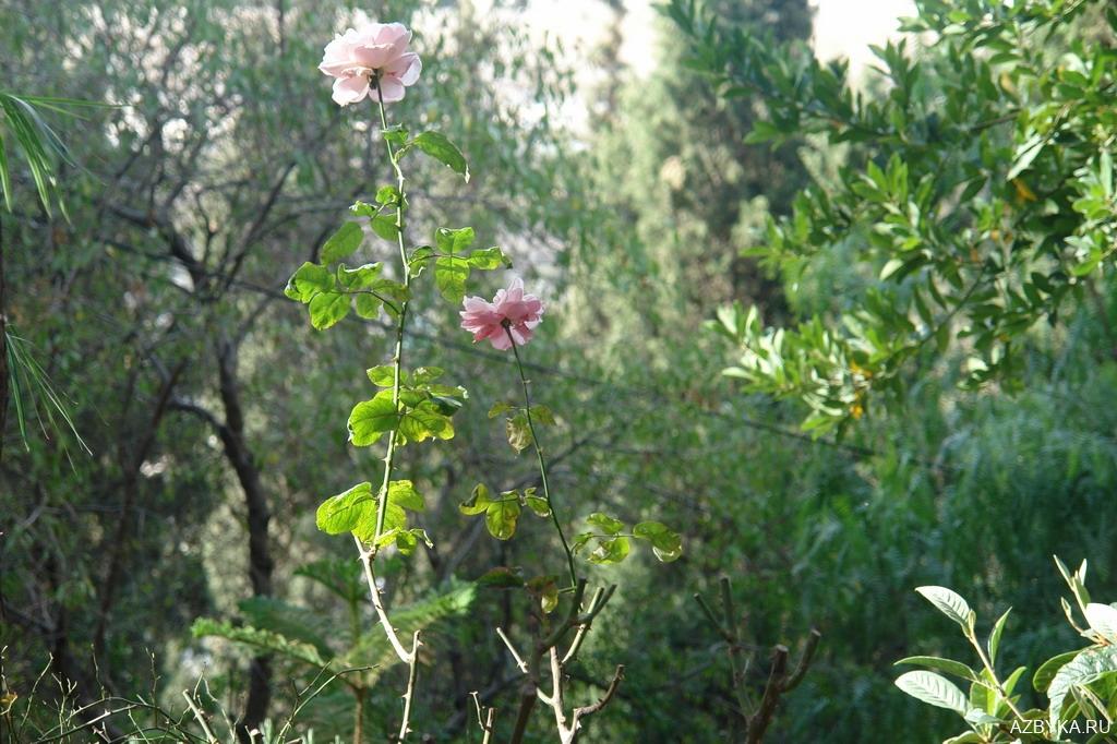 Цветы Гефсимании