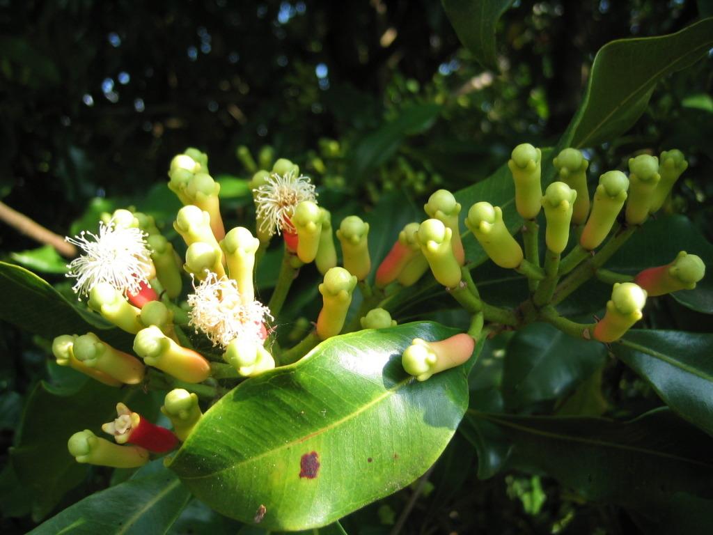 Как растёт гвоздика пряность