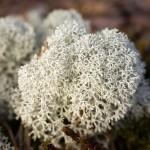 iceland-moss-bsp
