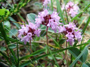 Свойства чабреца в чае, полезные свойства травы, противопоказания
